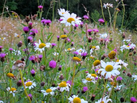 Bees are crazy for wildflowers